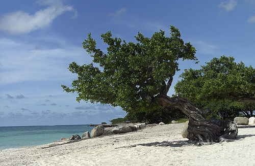 Divi Tree, Eagle Beach, Aruba. Photo: Serge Melki, used under Creative Commons License (By 2.0)
