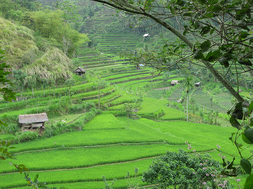 Rice Paddy in Bali, Indonesia - Photo: prilfish, used under Creative Commons License (By 2.0)