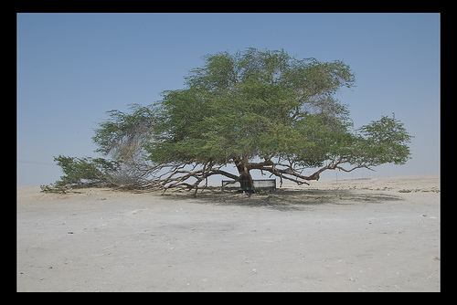 Tree of Life, Bahrain.  Photo: crwjdt, used under Creative Commons License (By 2.0)