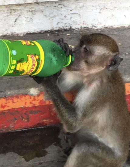 Monkey on steps of the Batu Caves, Kuala Lumpur, Malaysia - Photo: (c) 2016 - Dave Boerner