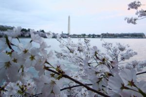 The cherry blossoms at sunrise, looking toward the Washington Monument. - Photo: (c) 2017 - Marissa of Life As Marissa