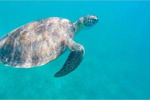 1 of 5 Sea Turtle Sightings in Tamarindo Beach - Photo: (c) 2017 - Yvonne of Hello Wander World